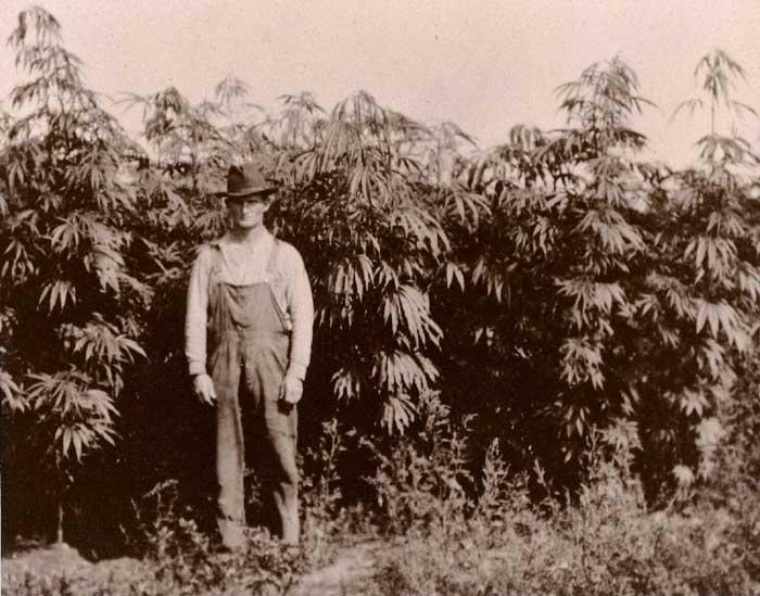 Plantacion de Cañamo en EEUU